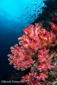 Soft Coral and Fish