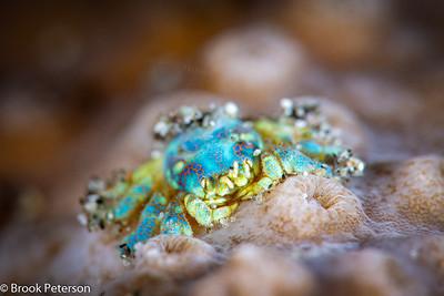 Hard Coral Crab