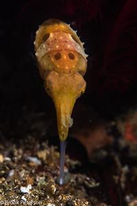 Hunting Cuttlefish