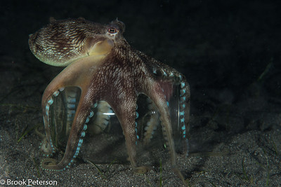 Octopus carrying a jar