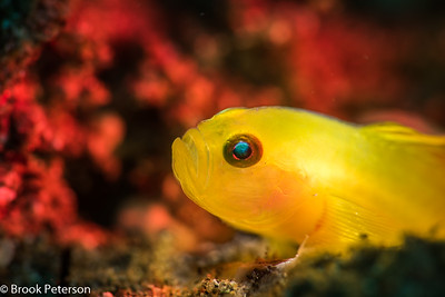 Lemon Goby on a Red Background