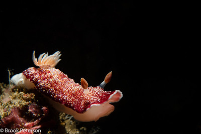 Goniobranchus reticulatus