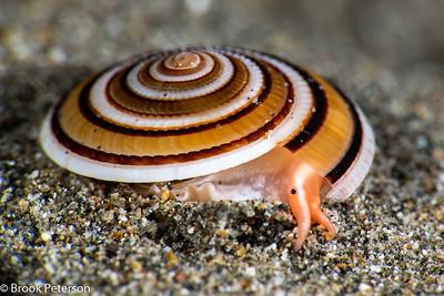 Sundial Snail
