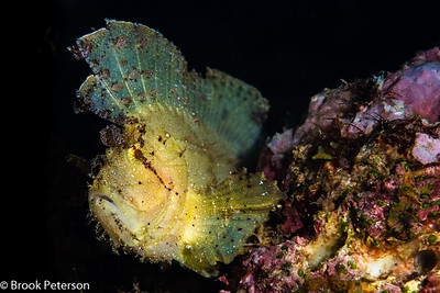 Leaf Scorpion Fish