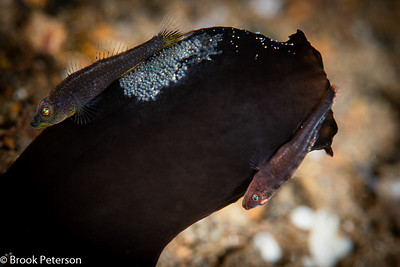 Tunicate Gobies with Eggs