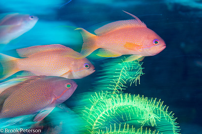 Anthias in Motion