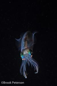 Reef Squid