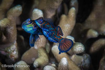 Mating Mandarin Fish with eggs