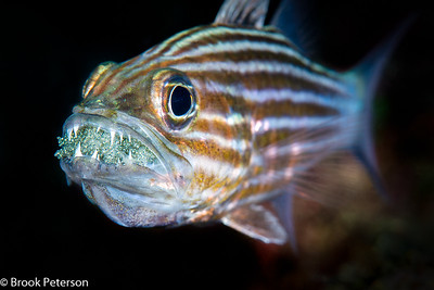 Striped Cardinal Fish with Eggs