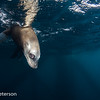Sea Lion at the Surface