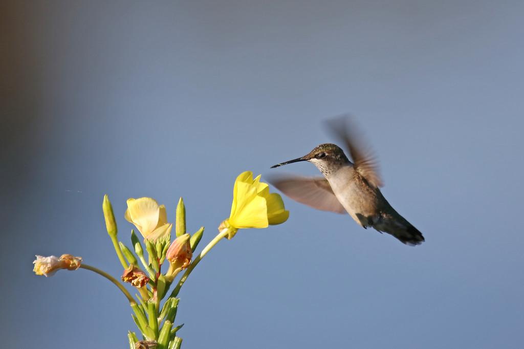 September 1 2016 - Hummingbird