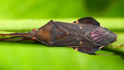 Unknown sp. Leaf-footed Bug (Coreidae)