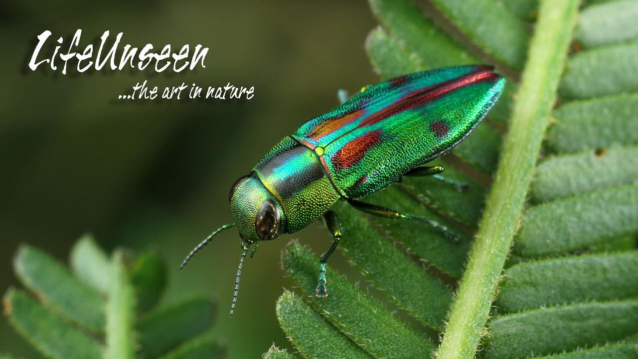 Melobasis purpurascens (Buprestidae)