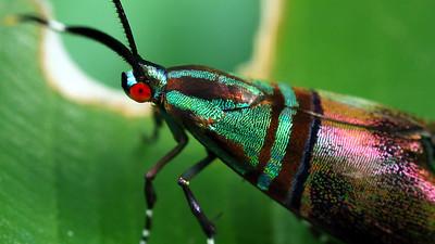 Saptha libanota (Choreutidae)