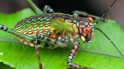 Ozphyllum sp. (Tettigoniidae)