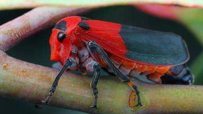 Eurymelops bicolor (Eurymelidae)