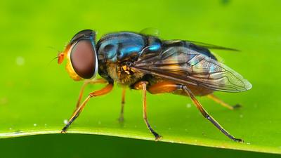 Austalis sp. (Syrphidae)