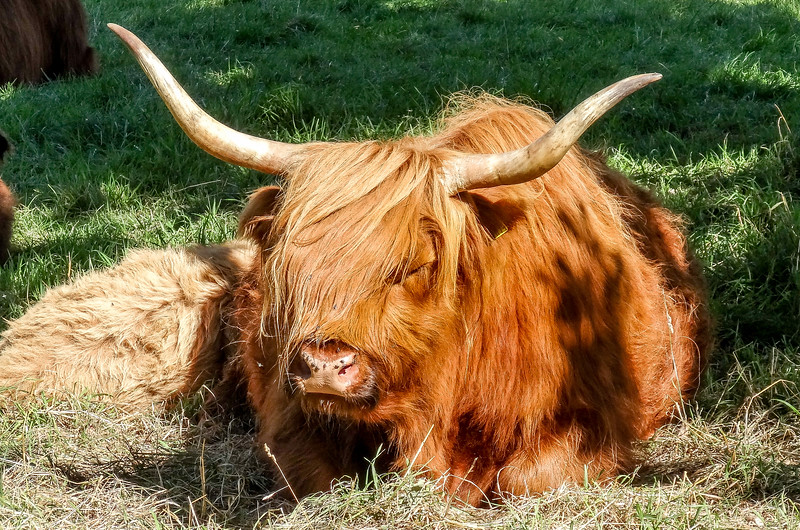 Highland Cattle, Scotland