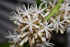 The very popular Dracaena fragrans 'Massangeana' is more commonly known as the Corn Plant.