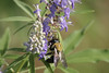 Butterfly Bush w/ bee