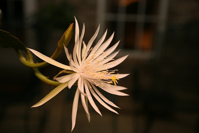 Night Blooming Cereus, 16 Sept 2008, Night time
