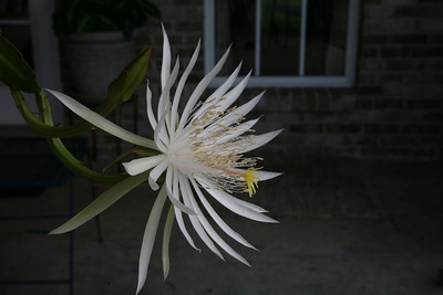 Night Blooming Cereus, 17 Sept 2008, Early Morning