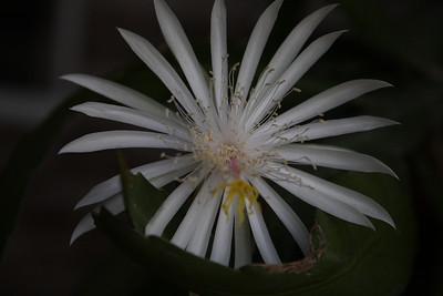 Night Blooming Cereus, 30 Aug 2008, Early morning