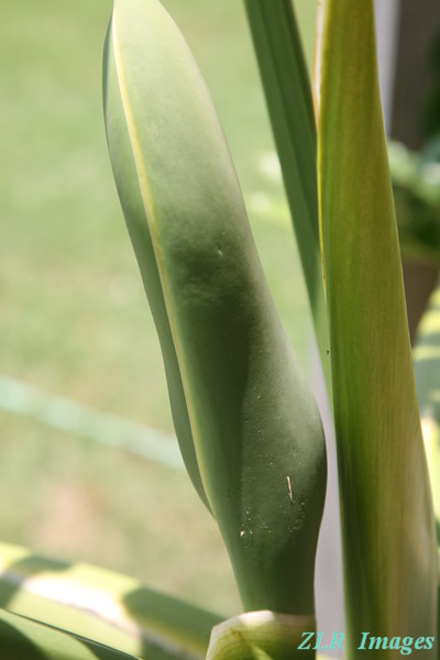 Philodendron flower pod, 2008
