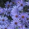 IMG_0952  Asters