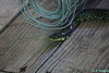 IMG_0324 Black Rat snake