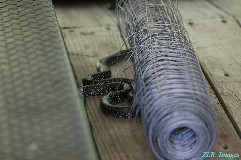 IMG_0323 Black Rat snake