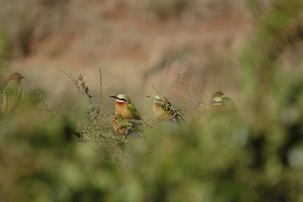White-Fronted Bee-eater