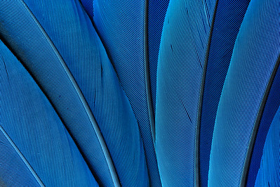 Macaw Feather Design: Blue #1