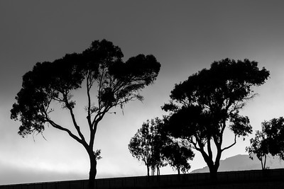 Silhouetted_Trees_Sunset_DAK0148
