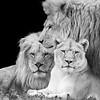 African Lion Trio