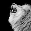African Lion 12