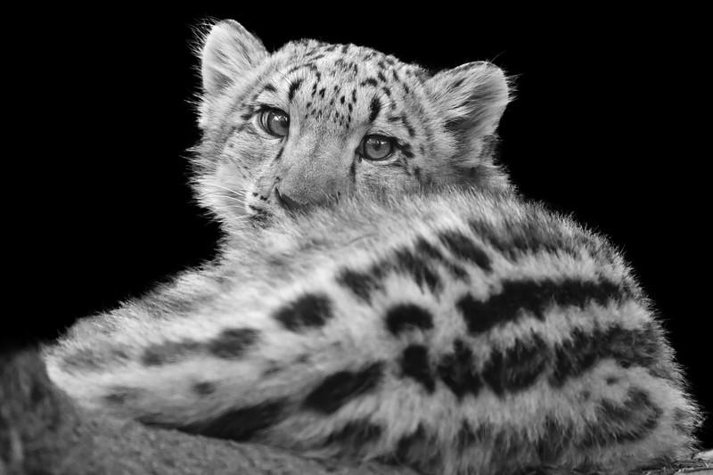 Snow Leopard Cub 2