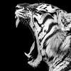 Yawning Amur Tiger