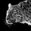 Emma---Amur Leopard 2