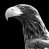 Stellar's Sea Eagle 1