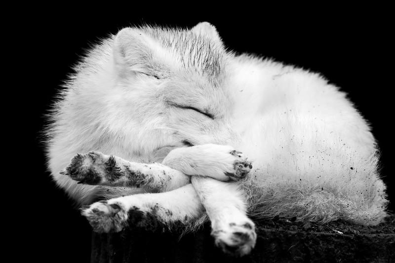 Arctic Fox 3