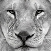 African Lion 1