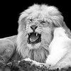 African Lion 9