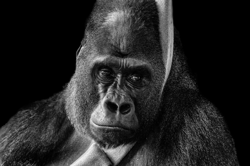 Lowland Gorilla 3