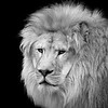 African Lion 2
