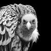 Ruppell's Griffon Vulture 2
