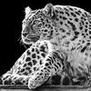 Emma---Amur Leopard 1