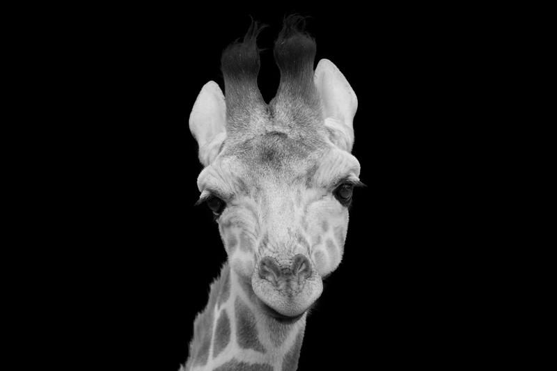 Giraffe 2:  Beau, an adolescent Giraffe born June 2018