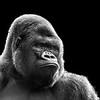Lowland Gorilla 1