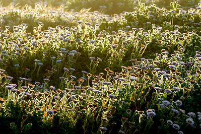 Backlit Wildflowers at Sunrise